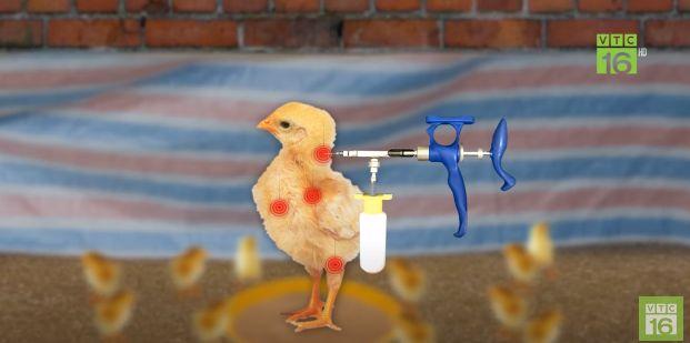 Tiêm vaccin cho gà