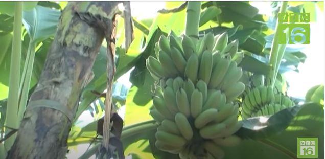 Kỹ thuật trồng chuối sứ