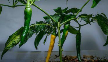 """Kỹ thuật trồng ớt hữu cơ """"siêu năng suất"""""""