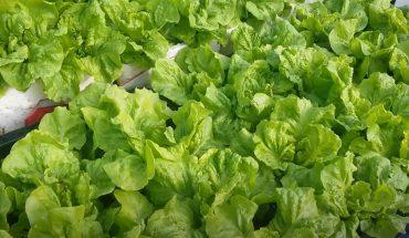 """Kỹ thuật trồng Rau Diếp hữu cơ """"đơn giản & hiệu quả"""""""