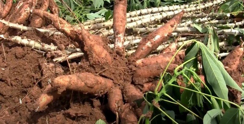 "Kỹ thuật trồng sắn ""siêu thu hoạch"" bạn cần biết!"