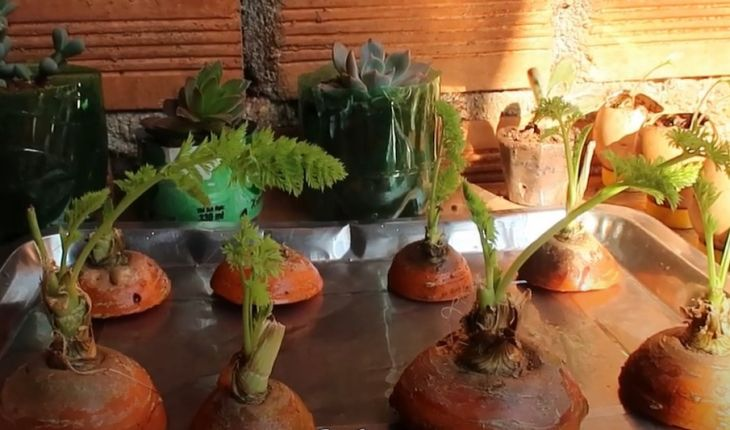 """Kỹ thuật trồng Cà Rốt trong nước """"cực đơn giản"""""""