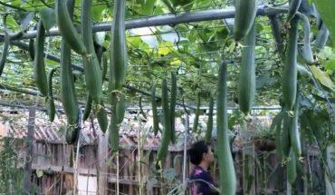 trồng mướp vào tháng 6