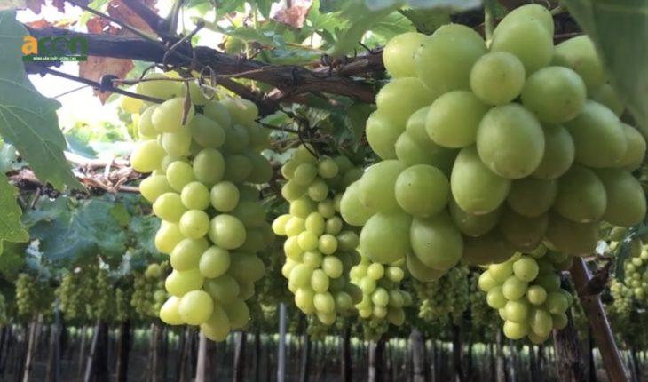 trồng nho Ninh Thuận