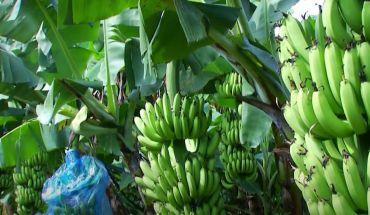 Bật mí kỹ thuật trồng chuối thu hoạch năng suất cao