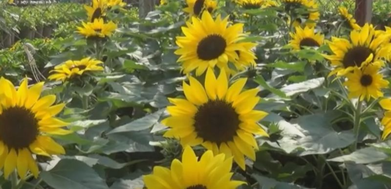 Kỹ thuật trồng Hoa Hướng Dương như thế nào?