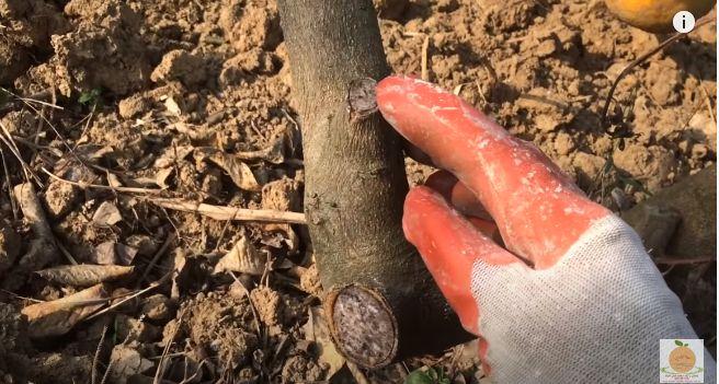 Tác dụng của việc quét vôi gốc cây