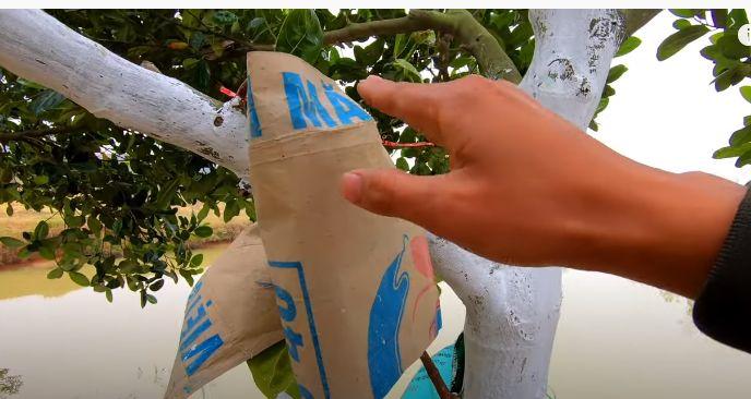 Bọc quả khi quét vôi cho gốc cây
