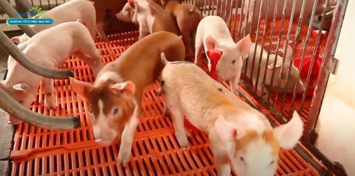 Chuồng cho lợn con