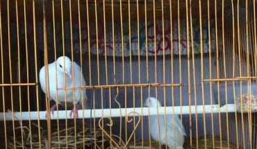 Chim cu gáy Pháp Nhật