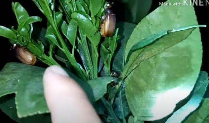 Cách diệt bọ cánh cứng