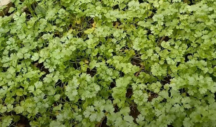 Cách trồng rau mùi trên sân thượng (từ hạt giống)