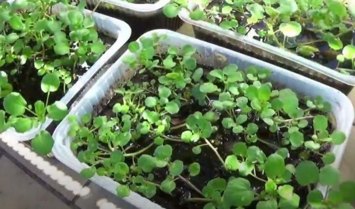 """Cách trồng cải xoong """"đúng chuẩn"""" từ nhà ra trang trại"""